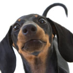 article-dog-wagging-tail-explained-large.ashx